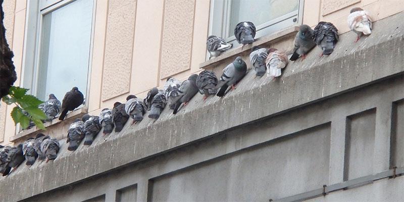 Stormo di colombi da allontanare